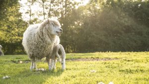 An image of a sheep and lamb in the Duke campsite